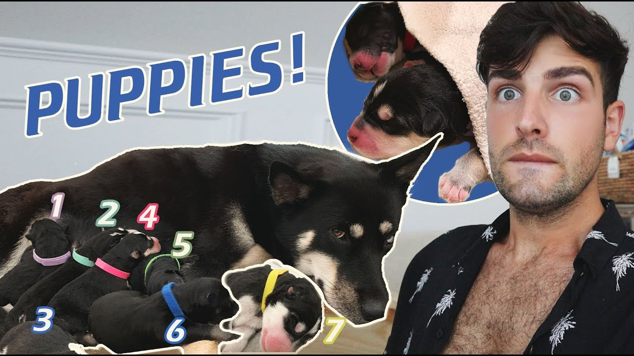 Husky Gives Birth to SEVEN Puppies! - Pregnancy Update | Mister Preda