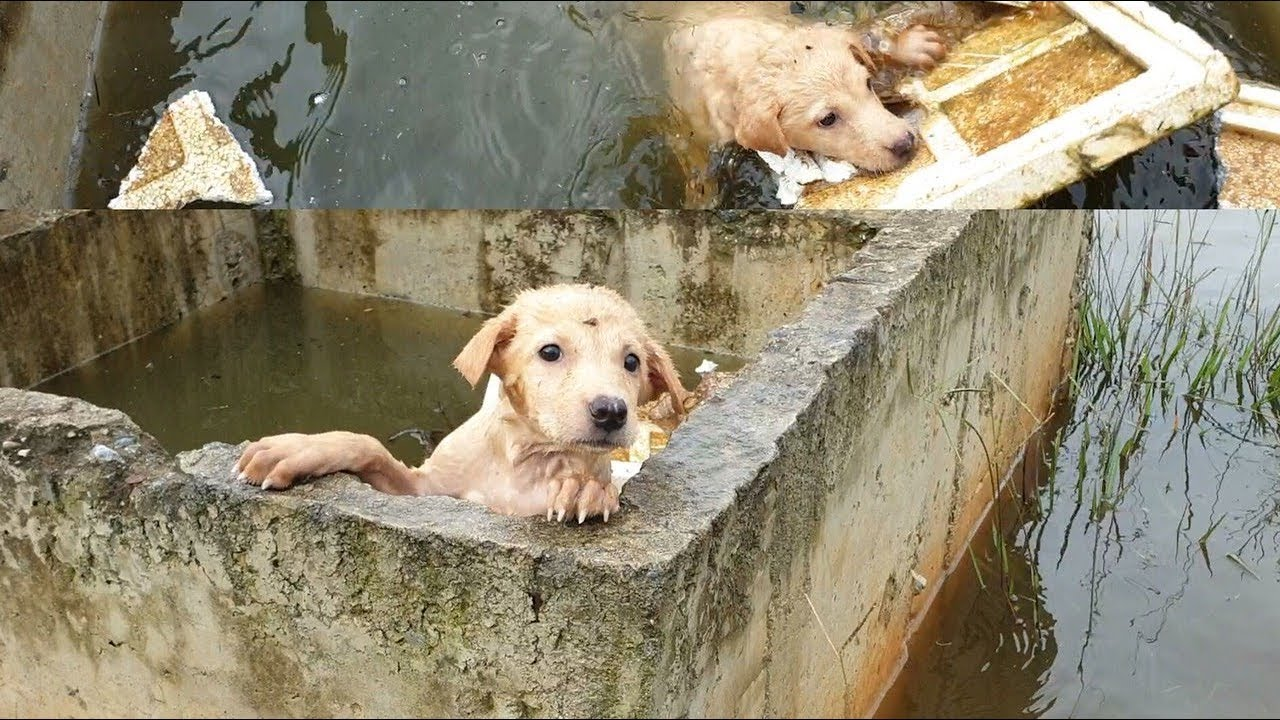 Rescue The Dog Washed Away By The Flood Water And Stuck In The Hole...The Insensitivity Of People